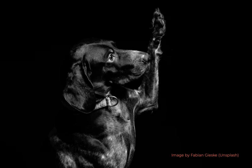Black Labrador Taking Oath Raised Paw